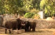watch-how-elephants-in-israel-care-more-about-their-young-then-the-arabs-do-in-gaza-new
